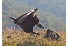 Black vulture (Aegypius monachus); Photo: Stefan Avramov
