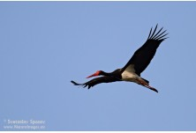 Black stork (Coconia nigra)