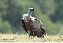 30% of Griffon vulture pairs in Bulgaria are breeding in Kovan kaya