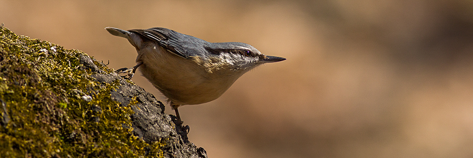 Кои са обикновените видове птици в горите?