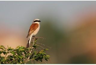 Red-backed Shrike (Lanius collurio) - male, Svetoslav Spasov