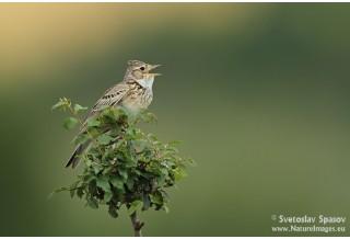 Skylark (Alauda arvensis) Svetoslav Spasov http://www.natureimages.eu/