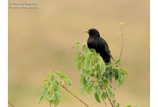 Common Starling (Sturnus vulgaris) - adult,  summer, Iordan Hristov; www.naturemonitoring.com