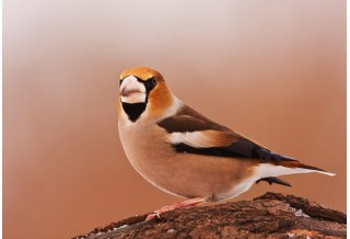 Hawfinch (Coccothraustes coccothraustes) Boris Belchev http://alcedowildlife.com/