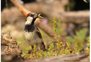 House Sparrow (Passer domesticus) - male, Nicky Petkov http://www.naturephotos.eu/