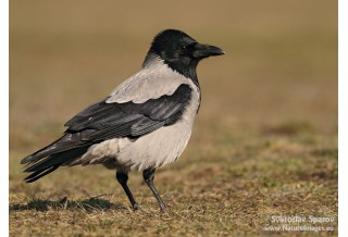 Hooded Crow (Corvus corone) Svetoslav Spasov http://www.natureimages.eu/