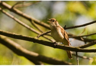 NIghtingale (Luscinia megarhynchos) Boris Belchev