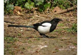 Magpie (Pica pica) Nicky Petkov http://www.naturephotos.eu/