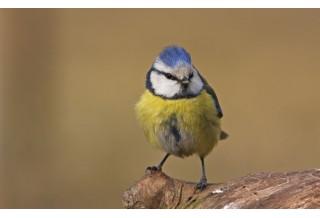 Blue Tit (Cyanistes caeruleus) Boris Belchev http://alcedowildlife.com/
