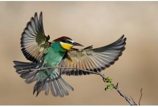 Bee-eater, image: Kalin Botev