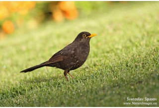 Черен кос (Turdus merula) - мъжки, Светослав Спасов http://www.natureimages.eu/