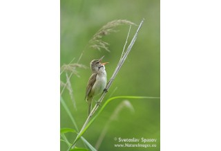 Great reed Warbler, image: Svetoslav Spasov, www.natureimages.eu