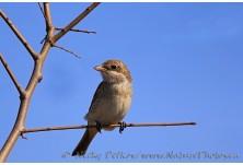Red-backed Shrike (Lanius collurio) - juv, Nicky Petkov