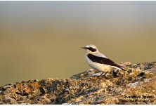 Northern Wheatear (Оеnanthe oenanthe) - male, Svetoslav Spasov http://www.natureimages.eu/