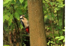 Great-spotted Woodpecker (Dendrocopus major) , Iordan Hristov