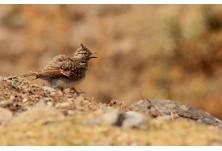 Crested Lark (Galerida cristata) - juv, Iordan Hristov; http://www.naturemonitoring.com/