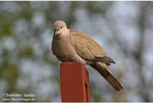 Collared Dove (Streptopelia decaocto) Svetoslav Spasov http://www.natureimages.eu/