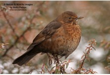 Blackbird (Turdus merula) - female,  Nicky Petkov http://www.naturephotos.eu/