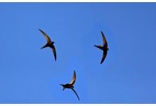 Черен бързолет (Apus apus) Ники Петков http://naturephotos.eu/