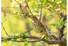 Song Thrush (Turdus philomelos) Nicky Petkov http://www.naturephotos.eu/