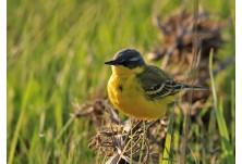 Жълта стърчиопашка (Motacilla flava beema) - мъжка, Николай Петков  http://www.naturephotos.eu/