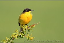 Black-headed Yellow Wagtail (Motacilla flava feldegg) Nicky Petkov http://www.naturephotos.eu/