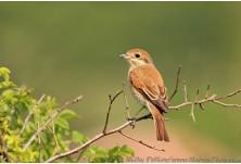 Red-backed Shrike (Lanius collurio) - female, Nicky Petkov