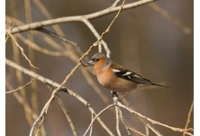 Common Chaffinch (Fringilla coelebs) - male, Boris Belchev http://alcedowildlife.com/
