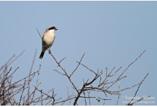Lesser grey Shrike (Lanius minor) Svetoslav Spasov http://www.natureimages.eu/