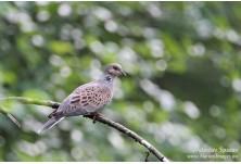 Turtle Dove (Streptopelia turtur) Svetoslav Spasov http://www.natureimages.eu/