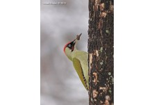 Green Woodpecker (male), image: Iordan Hristov, danbirder.blogspot.com