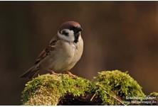 Tree Sparrow (Passer montanus) Svetoslav Spasov http://www.natureimages.eu/