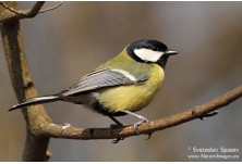 Great Tit (Parus major) Svetoslav Spasov
