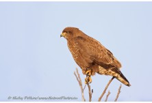 Common Buzzard (Buteo buteo)  Nicky Petkov http://www.naturephotos.eu/