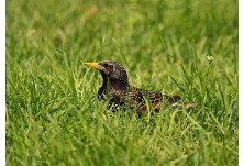 Common Starling (Sturnus vulgaris)  Nicky Petkov  http://www.naturephotos.eu/