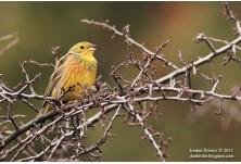 Жълта овесарка (Emberiza citrinella) , Йордан Христов, danbirder.blogspot.com