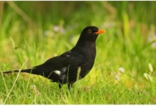 Blackbird (Turdus merula) - male,  Nicky Petkov http://www.naturephotos.eu/