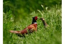 Pheasant, image: Iordan Hristov, danbirder.blogspot.com