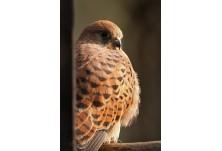 Common Kestrel (Falco tinnunculus) - female,  Nicky Petkov www.naturephotos.eu