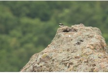 Eastern Black-eared Wheatear, image: Iordan Hristov, www.NatureMonitoring.com