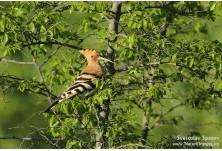 Папуняк (Upupa epops) Светослав Спасов http://www.natureimages.eu/