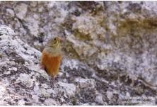 Градинска овесарка (Emberiza hortulana) Светослав Спасов http://www.natureimages.eu/