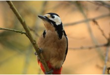 Great-spotted Woodpecker (Dendrocopus major)  Nicky Petkov http://www.naturephotos.eu/