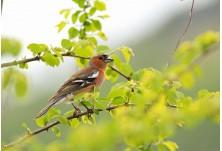 Обикновена чинка (Fringilla coelebs) - мъжка, Ники Петков http://www.naturephotos.eu/