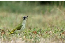 Green Woodpecker (female), image: Iordan Hristov, danbirder.blogspot.com