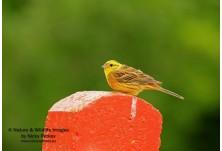 Жълта овесарка (Emberiza citrinella) - мъжка, Николай Петков