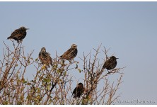 Common Starling (Sturnus vulgaris) - winter plumage Nicky Petkov  http://www.naturephotos.eu/