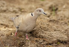 Collared Dove (Streptopelia decaocto) - Nicky Petkov http://www.naturephotos.eu/