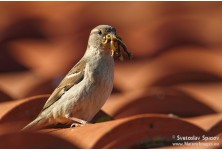 House Sparrow (Passer domesticus) - female, Svetoslav Spasov http://www.natureimages.eu/