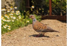 Turtle Dove (Streptopelia turtur)  - Nicky Petkov  http://www.naturephotos.eu/
